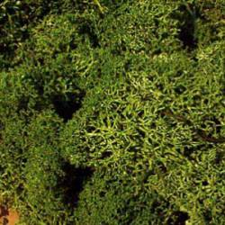 Icelandic moss, medium green.