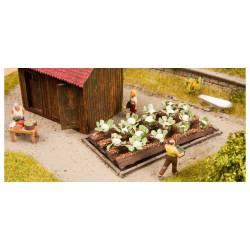 Plantas de coliflor.