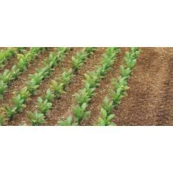 Plantas de remolacha.