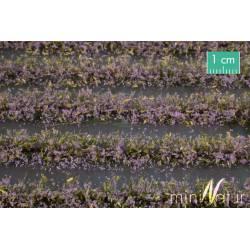 Campo de flores violetas.