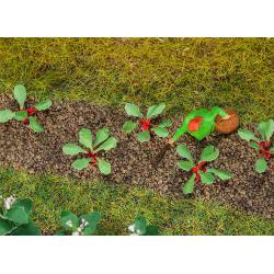 Plantas de ruibarbo.