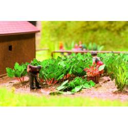 Rhubarb, 12 plants. NOCH 14108